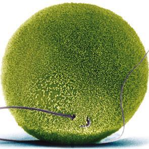 Implantación del embrión en la fecundación in vitro.
