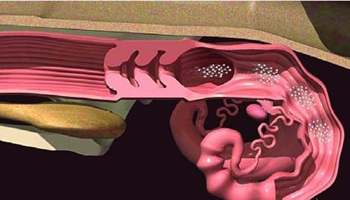 Mecanismo que determina la dirección del transporte de los óvulos