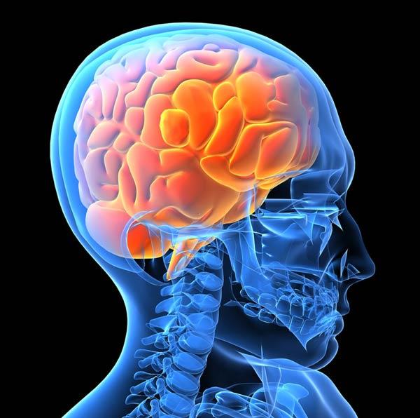 neurocientíficos revelan mecanismo crucial para moldear el cerebro masculino