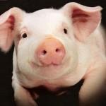 Proyecto UNAM- Infertilidad a partir del cerdo