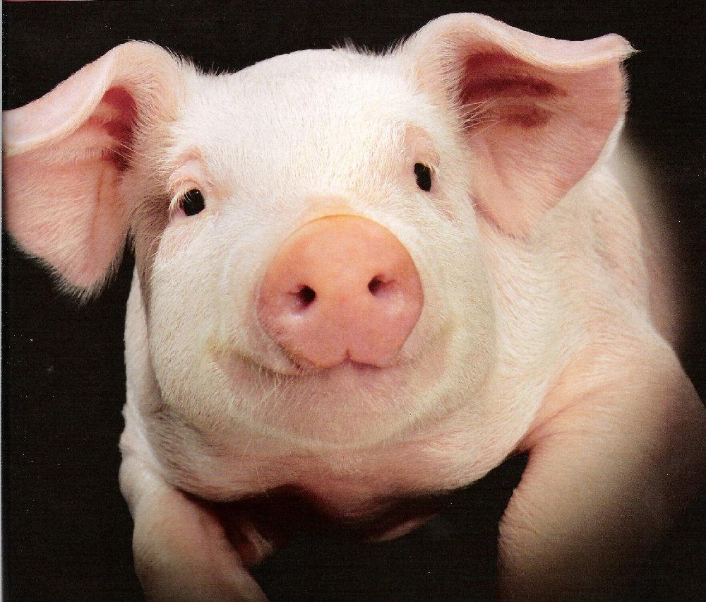 Infertilidad a partir del cerdo