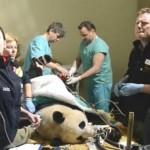 Pandas ayudados por técnicas de fecundación humana