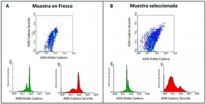 Figura 2.Análisis de la susceptibilidad a fragmentación de la estructura cromatínica mediante citometría de flujo. Diagrama de distribución respecto a la fluorescencia del ADN de cadena sencilla y al ADN de cadena doble. Análisis de la muestra en fresco (A) y análisis de la muestra seleccionada (B).