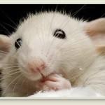 Un gel microbicida anti-VIH, probado con éxito en ratones